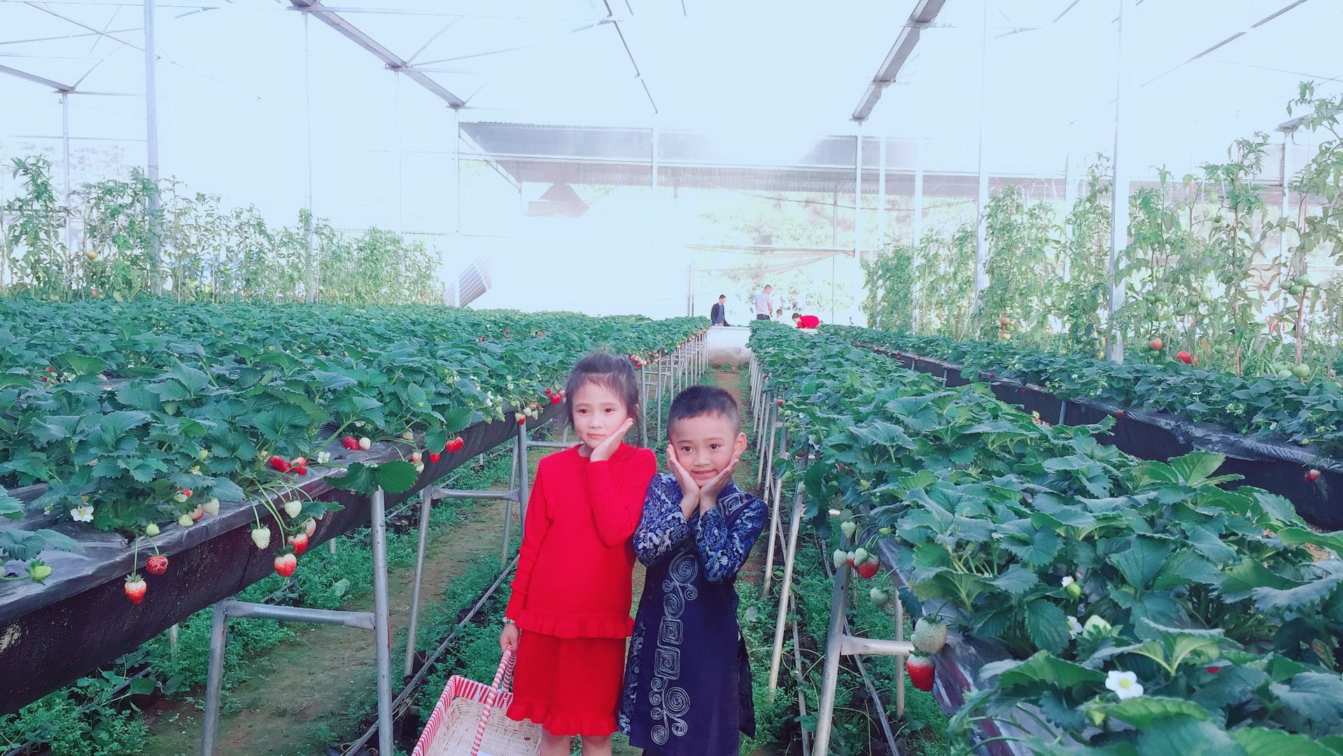 Các bé rất thích hái dâu tây Chimi