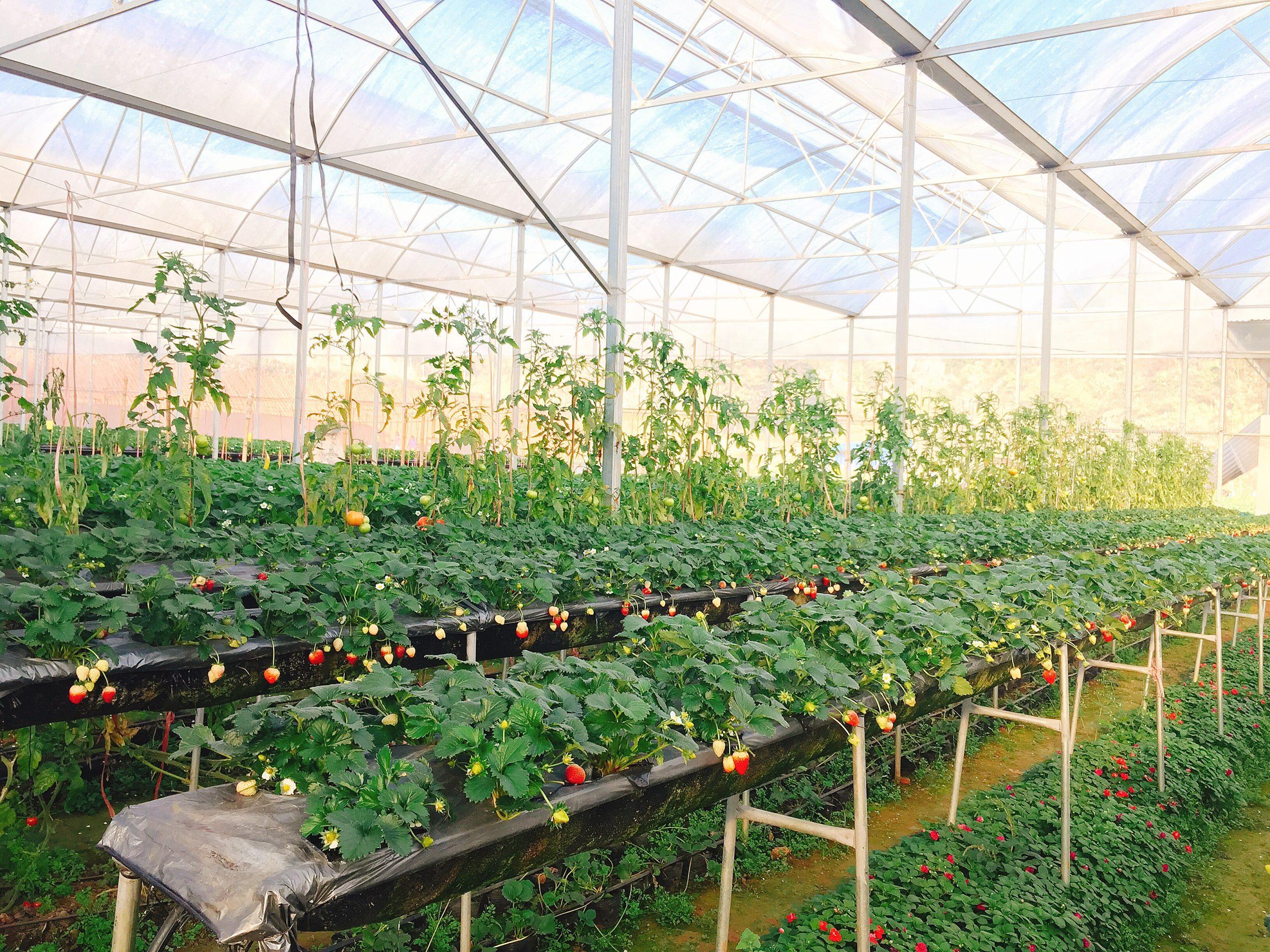Để có được một vườn dâu tây phát triển tốt cần nhiều công chăm sóc. Liên hệ mua cây giống, tư vấn kỹ thuật 082.989.1110