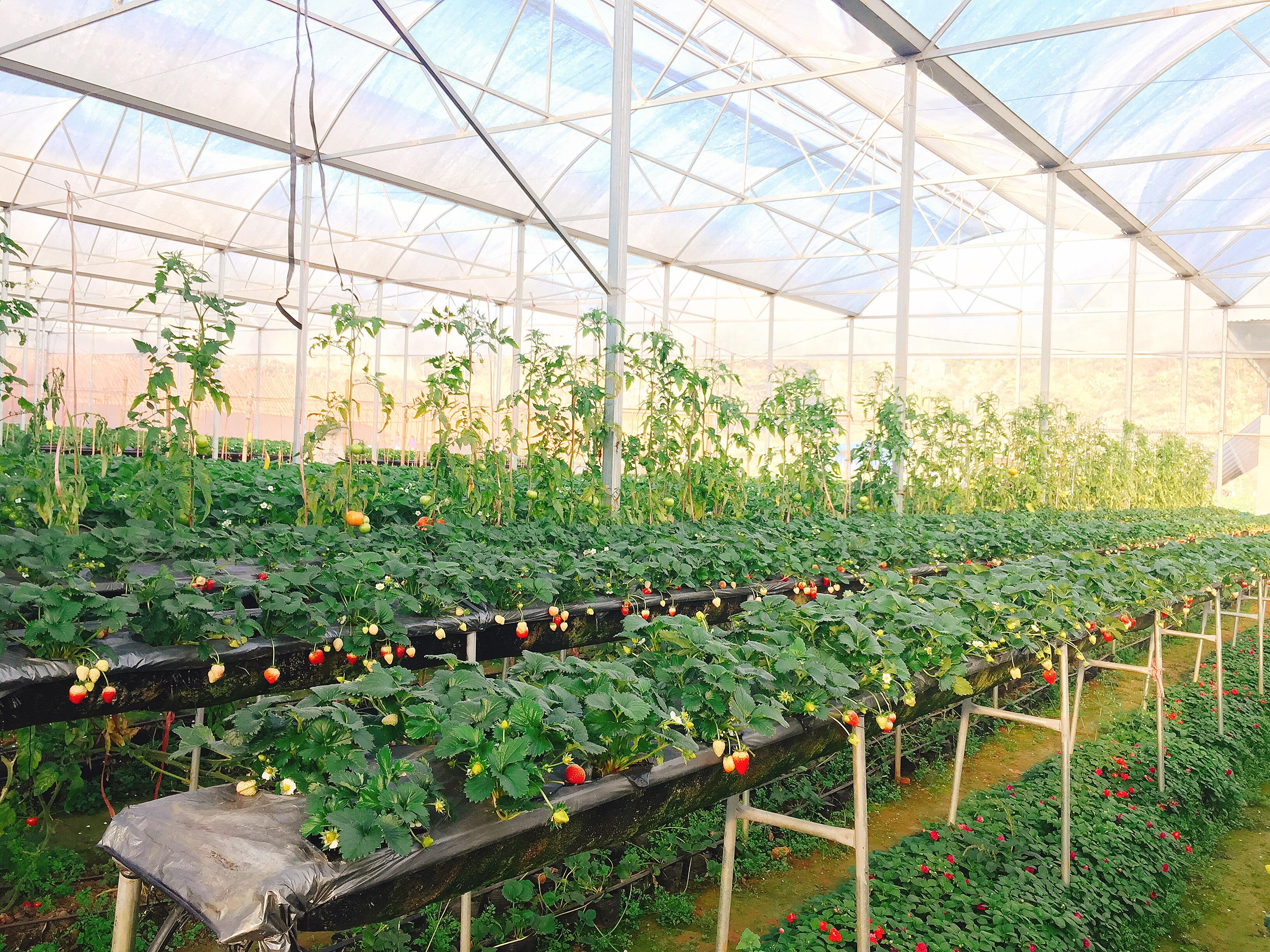Dâu tây của Chimi Farm trồng trong nhà kính theo tiêu chuẩn VietGAP