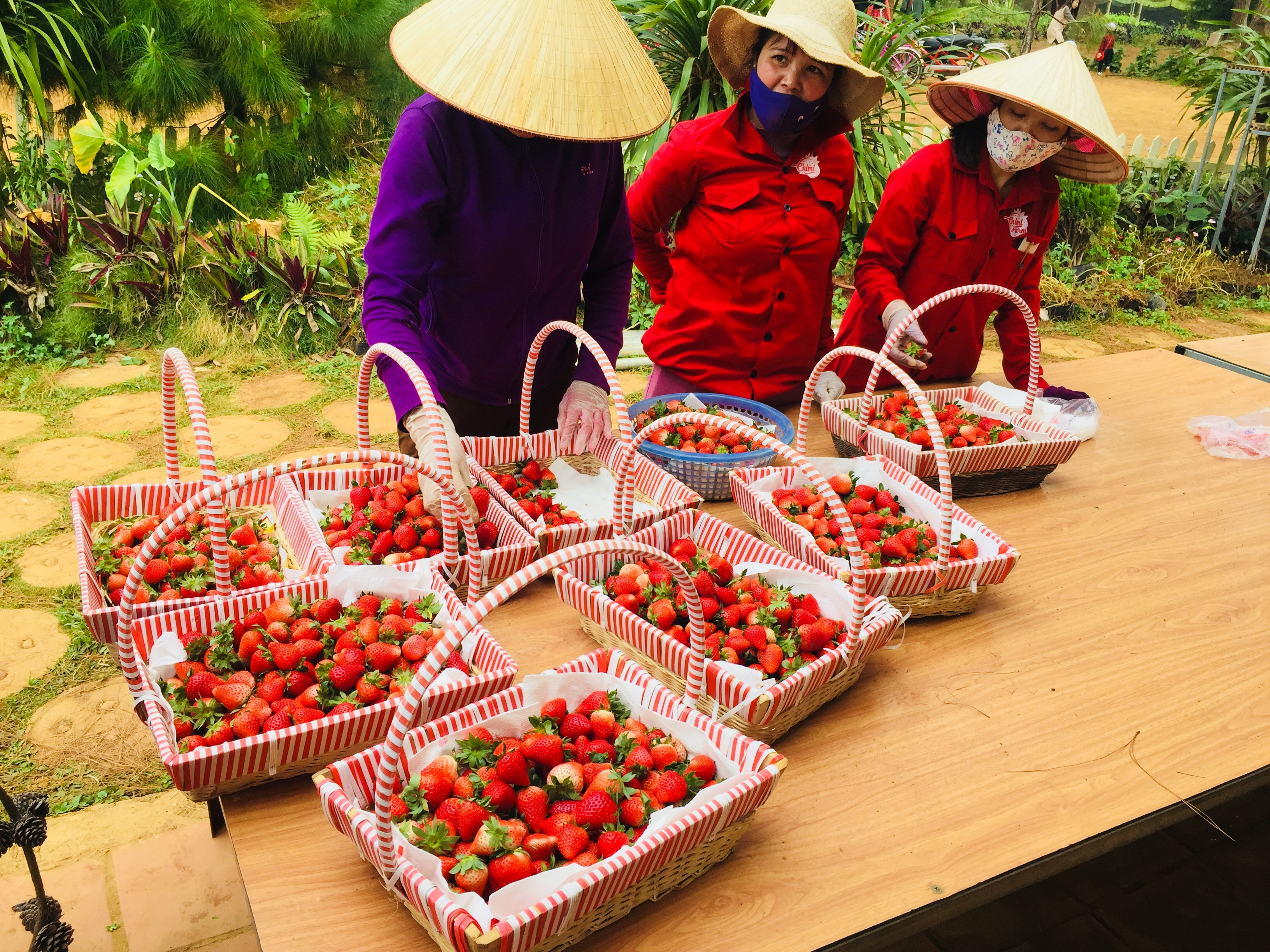 Những trái dâu tây Mộc Châu được thu hái tươi ngon hàng ngày