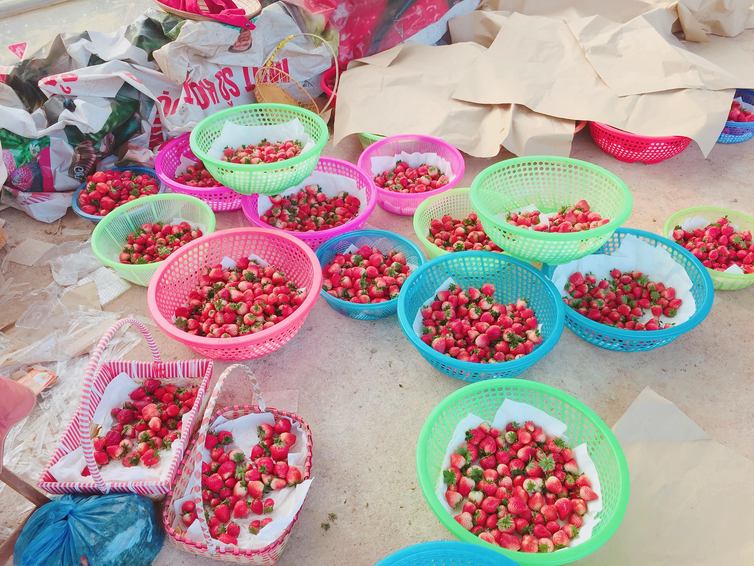 Những trái dâu tây Mộc Châu vừa thu hoạch tại vườn