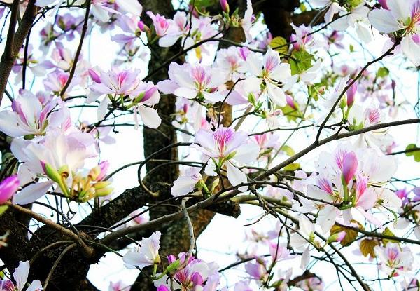 Mùa hoa ban trắng Mộc Châu vào tháng 3 hàng năm