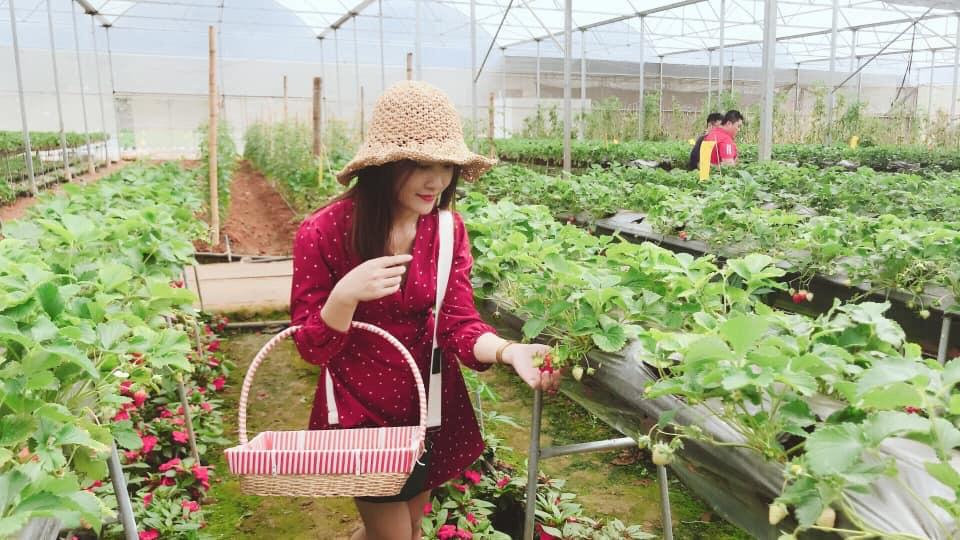 Khách trải nghiệm hái dâu tây tại vườn Chimi