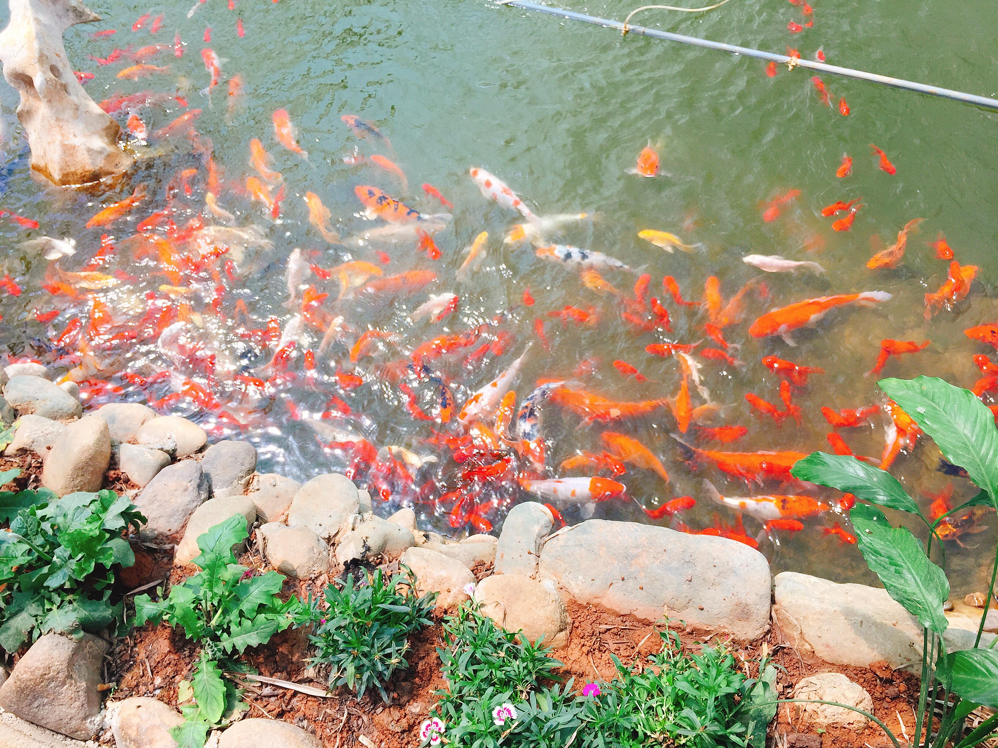 Suối cá vàng theo phong cách Nhật Bản