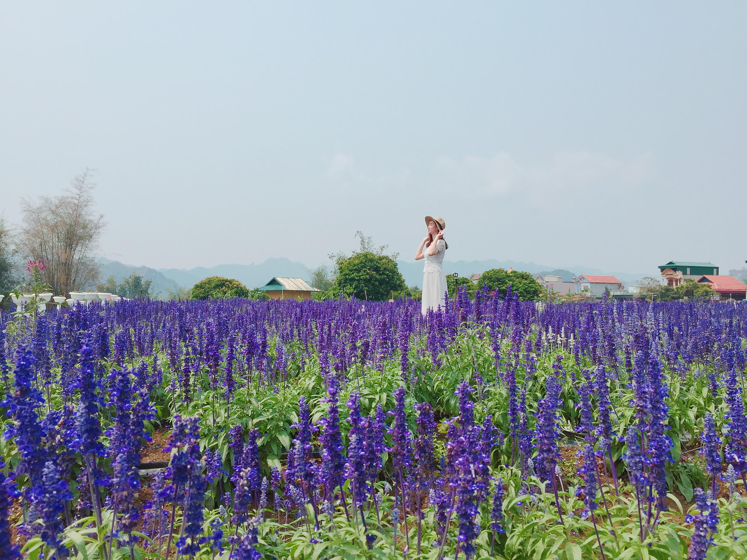 Một rừng hoa tím lịm tim cho các bạn gái sống ảo