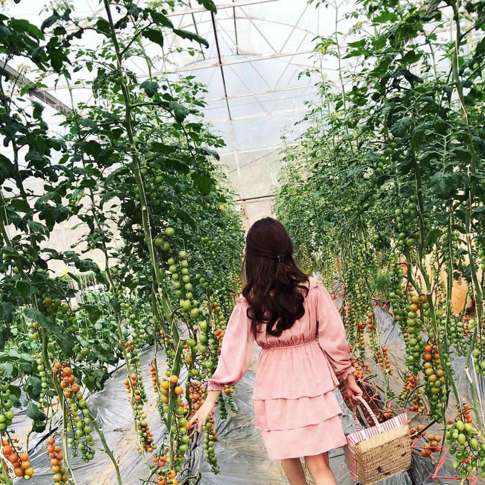 Đứng góc nào cũng có ảnh đẹp tại vườn cà chua cherry