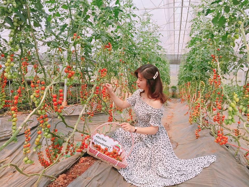 Vườn cà chua sai trĩu quả đỏ mọng từng chùm như chùm nho