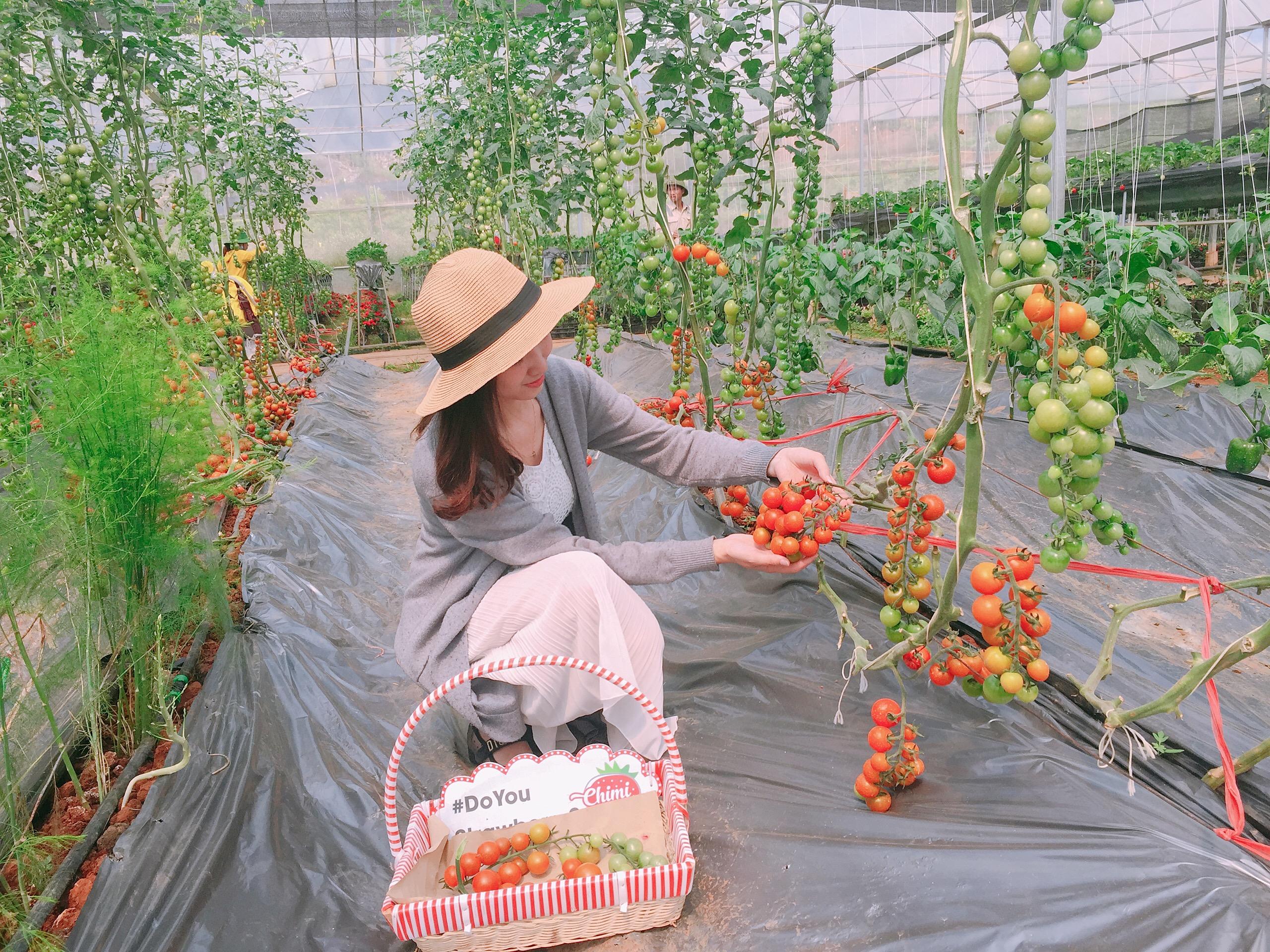 Cà chua cherry được trồng tại Chimi Farm