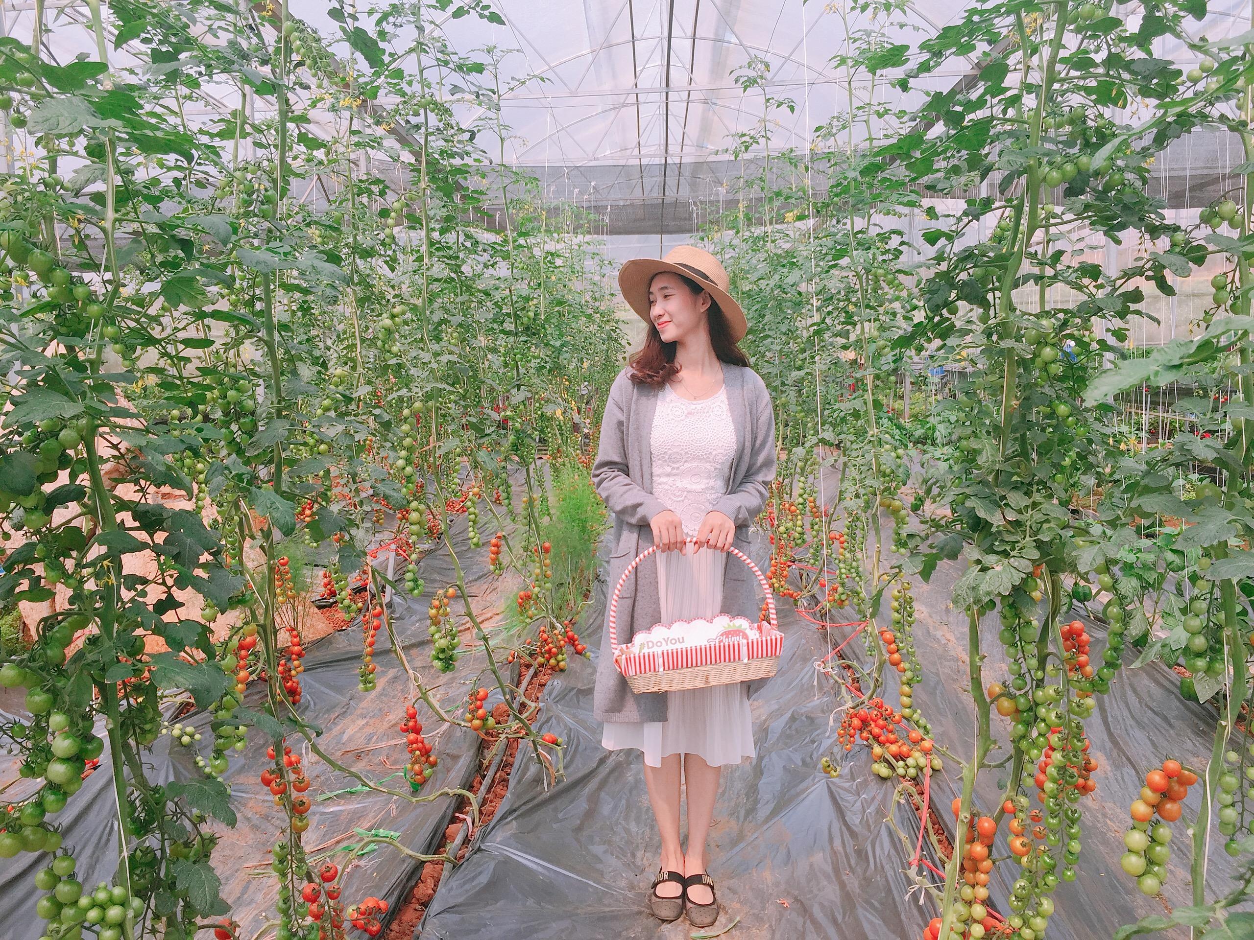 Cách trồng cà chua cherry của Chimi Farm