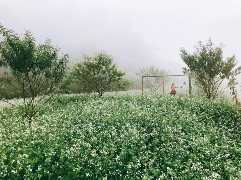 Hoa cải trắng tinh khôi tại Mộc Châu tháng 11