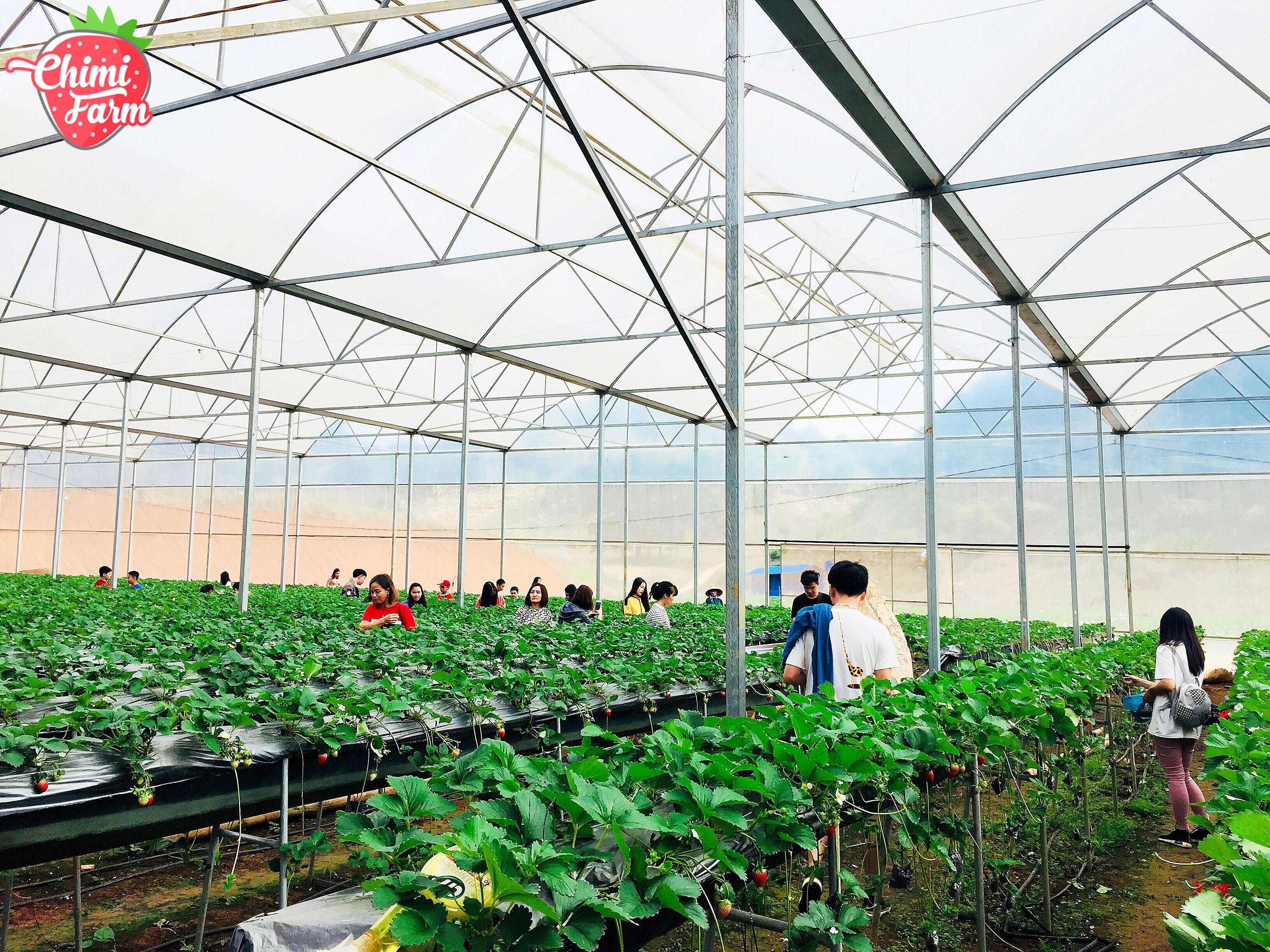 Chimi Farm là trang trại dâu tây rộng lớn nhất Việt Nam