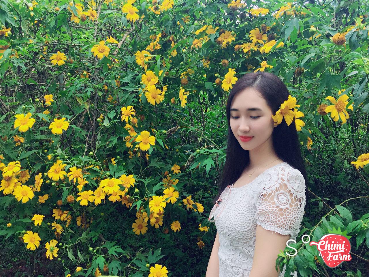 Hoa dã quỳ Mộc Châu vào những ngày đầu đông