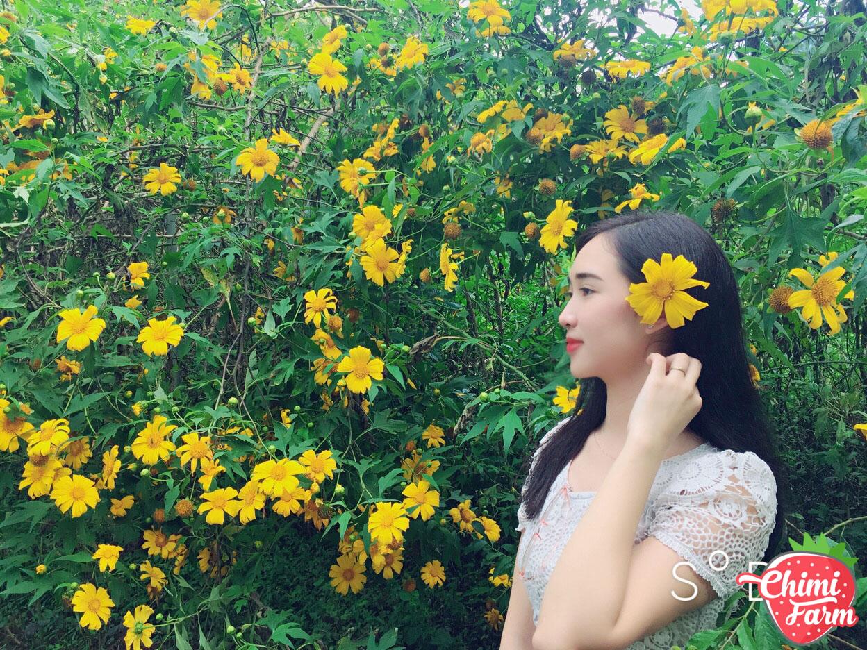 Hoa dã quỳ Mộc Châu ở khu vực rừng thông Bản Áng