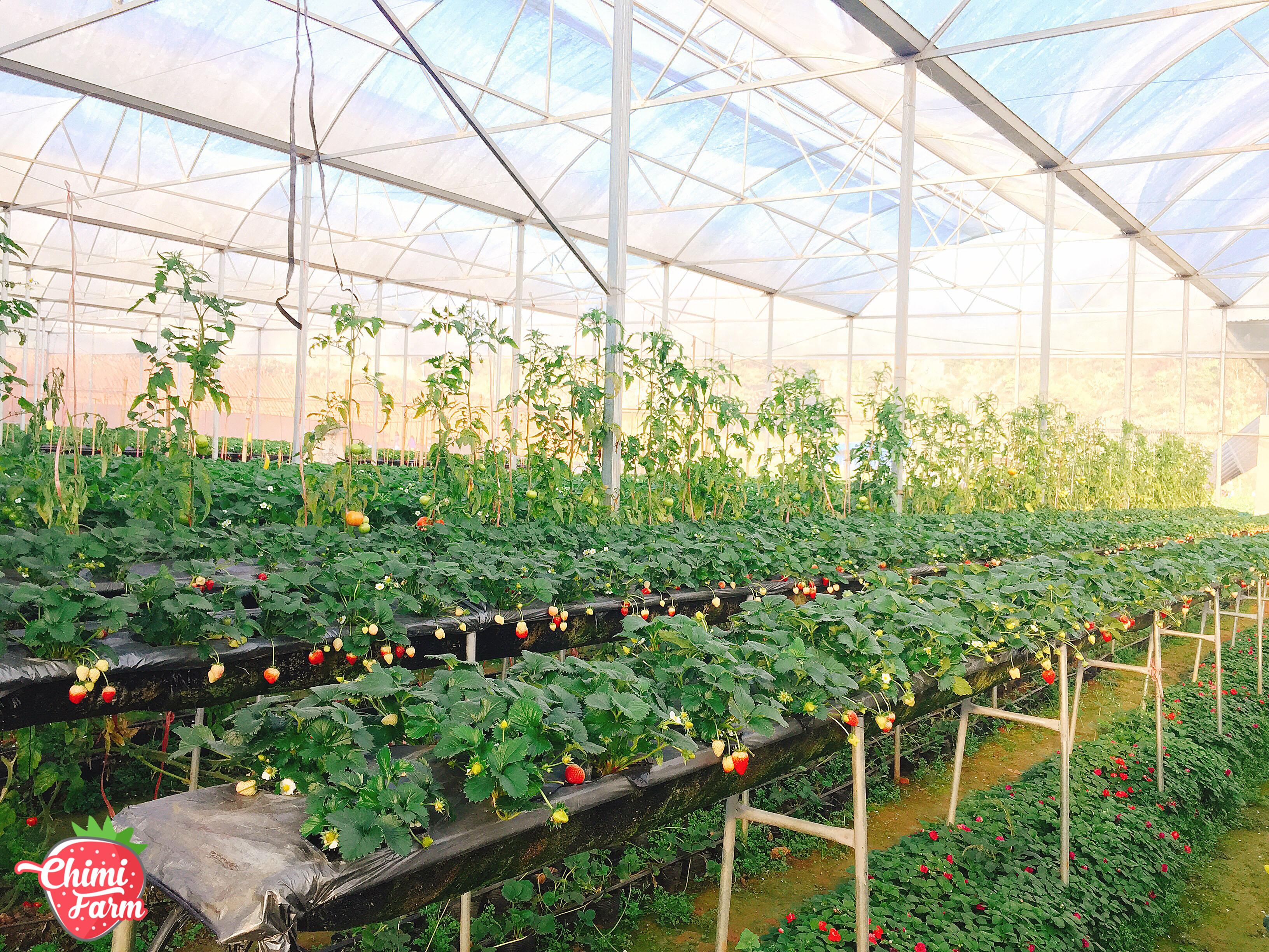 Các giá thể dâu tây được trồng trong nhà kính của Chimi Farm