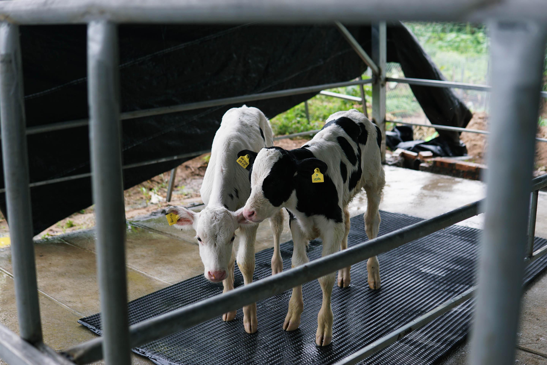 Các bạn bò sữa con rất đáng yêu