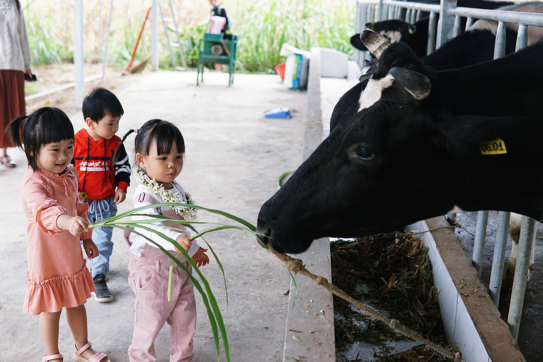 Các bạn nhỏ cho bò sữa ăn