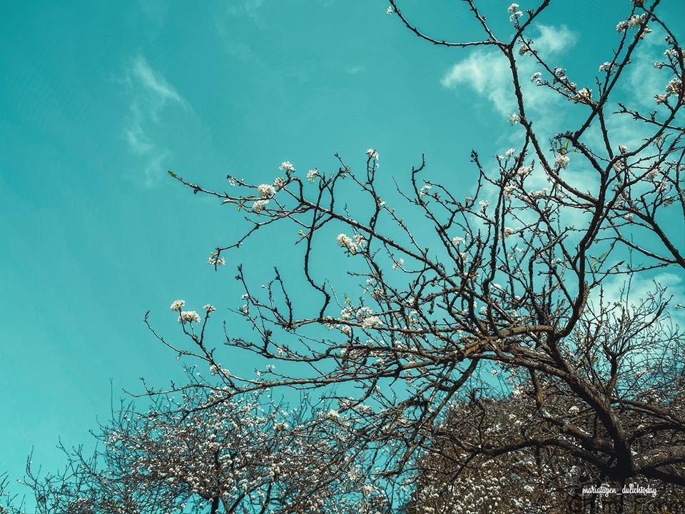 Hoa mận Mộc Châu đang nở trắng trời
