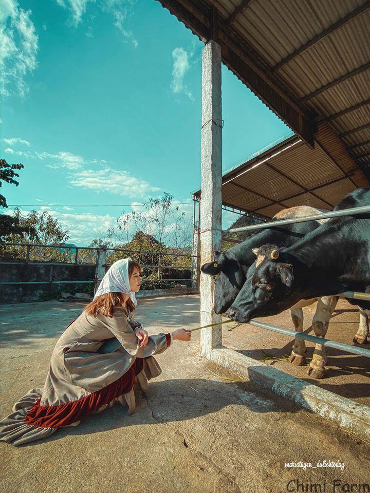 Những chú bò rất hiền lành và đáng yêu