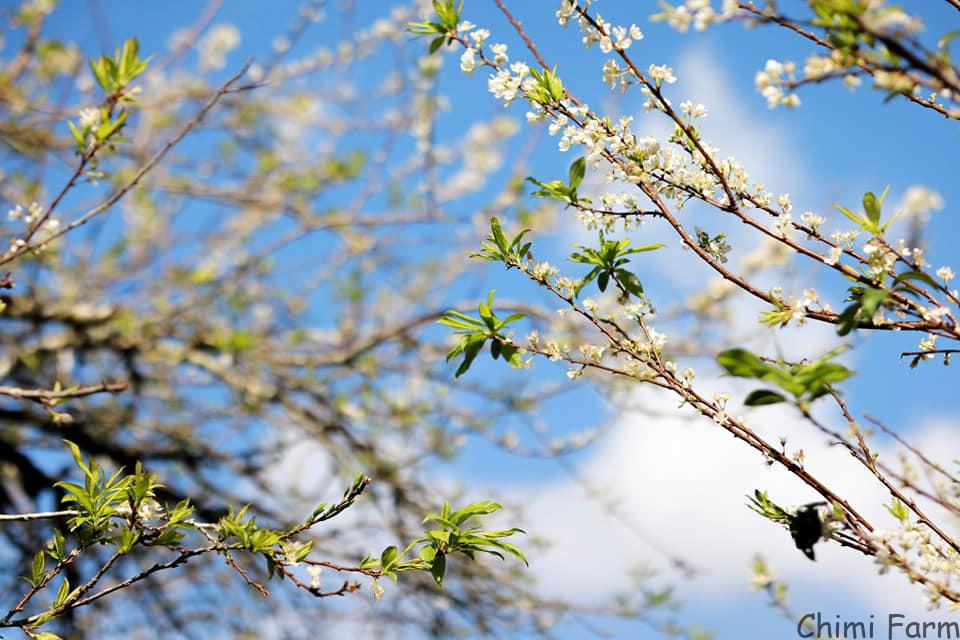 Hoa mận Mộc Châu rất đẹp các bạn ạ