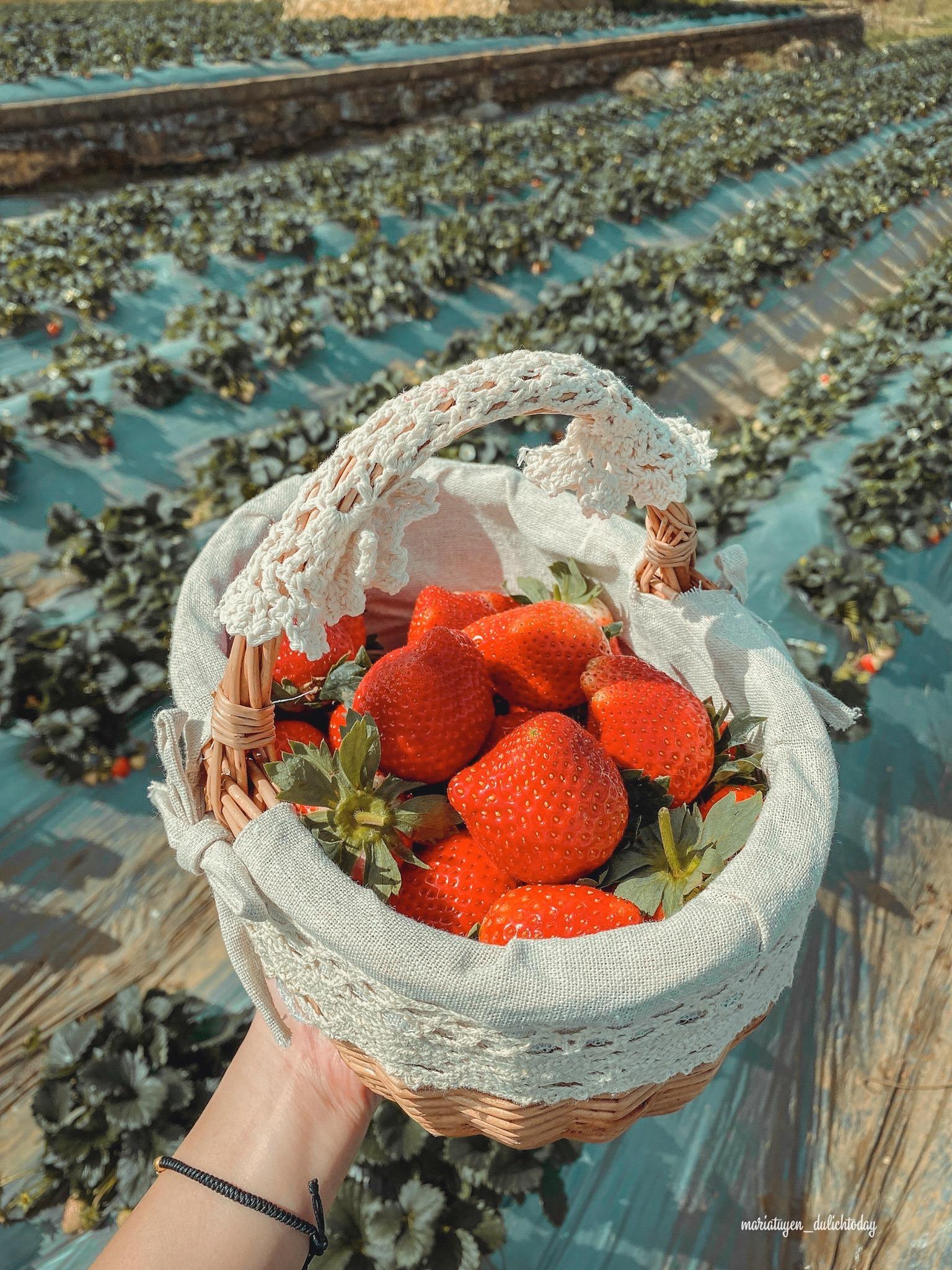 Dâu tây Chimi Farm rất to và ngọt