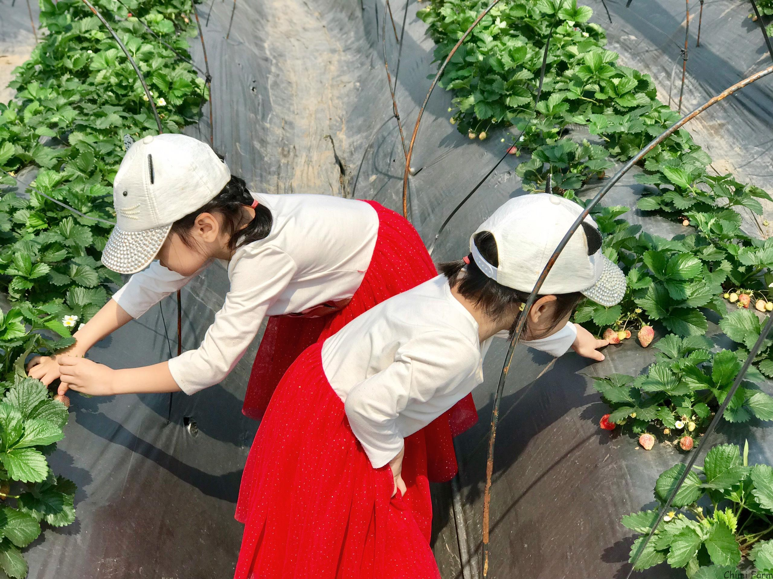 Hướng dẫn tham quan và trải nghiệm trang trại dâu tây Chimi