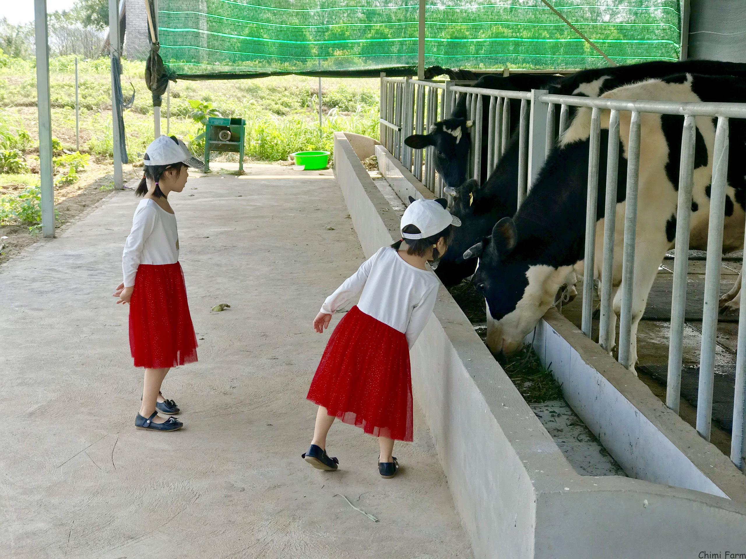 Trang trại bò sữa tại Chimi farm Âu Cơ, Hà Nội
