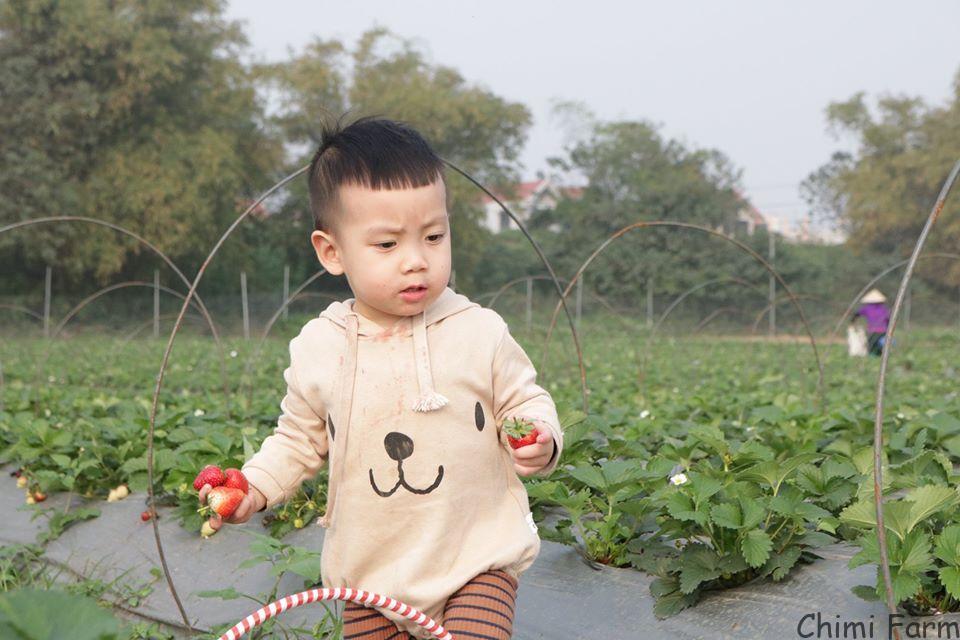 Các em bé thích thú với trải nghiệm hái dâu tây tại Chimi Farm