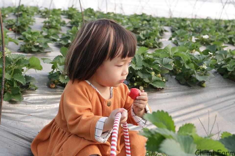 Dâu tây Chimi Farm có chất lượng quả to và ngọt
