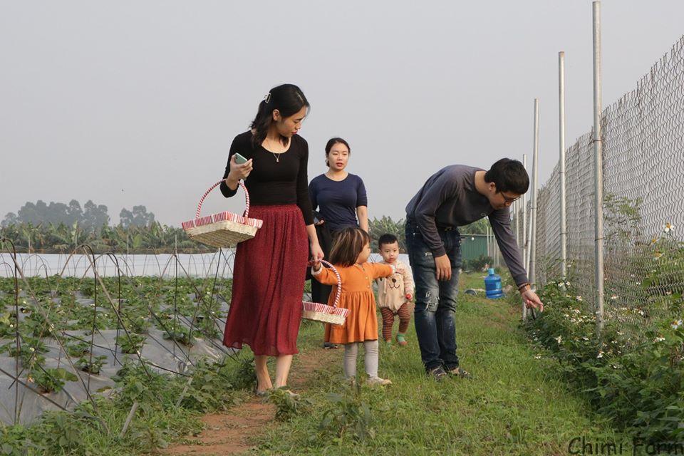 Mùa dâu tây Hà Nội chín thường vào tháng 1 hàng năm