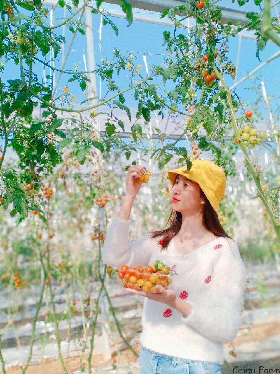 Vườn cà chua cherry mộng mơ được du khách yêu thích