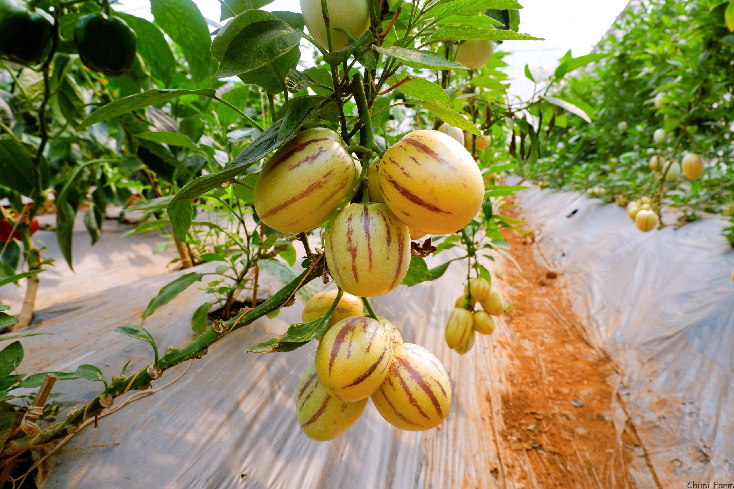 Những trái dưa có trọng lượng từ 200g - 400g
