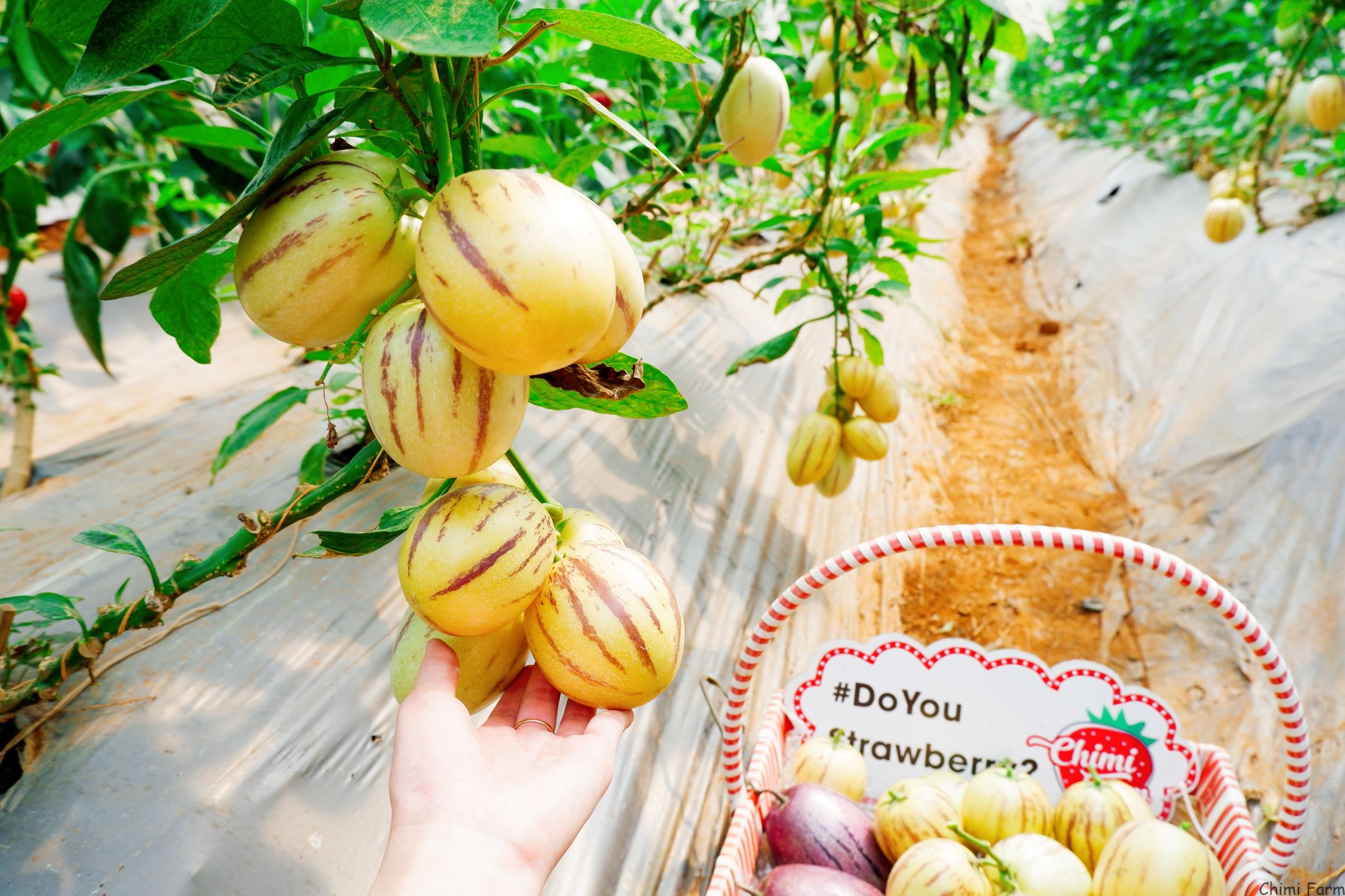 Những trái dưa pepino Nam Mỹ sai trĩu quả
