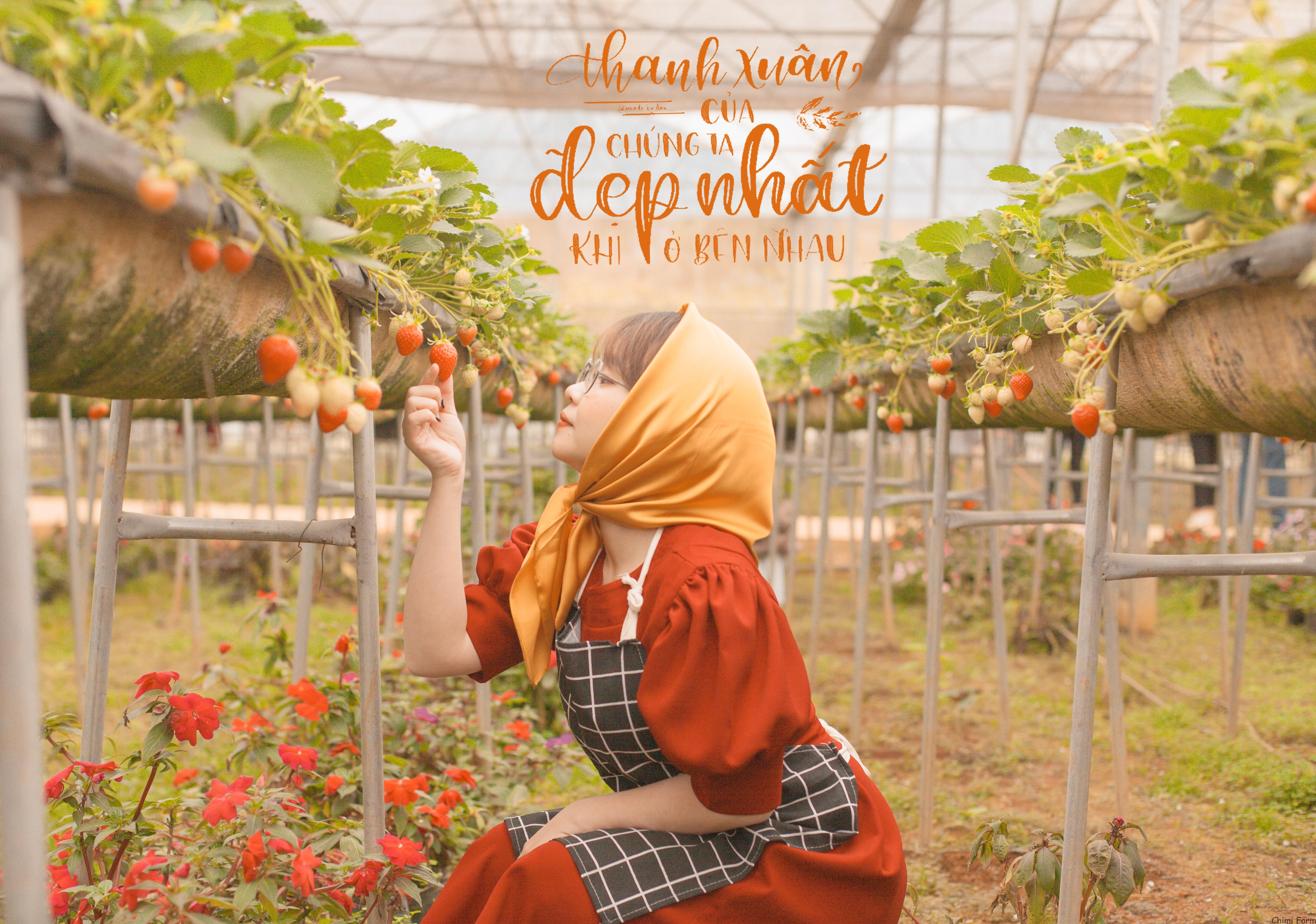 Những trái dâu tây Mộc Châu chín đỏ, sai trĩu quả