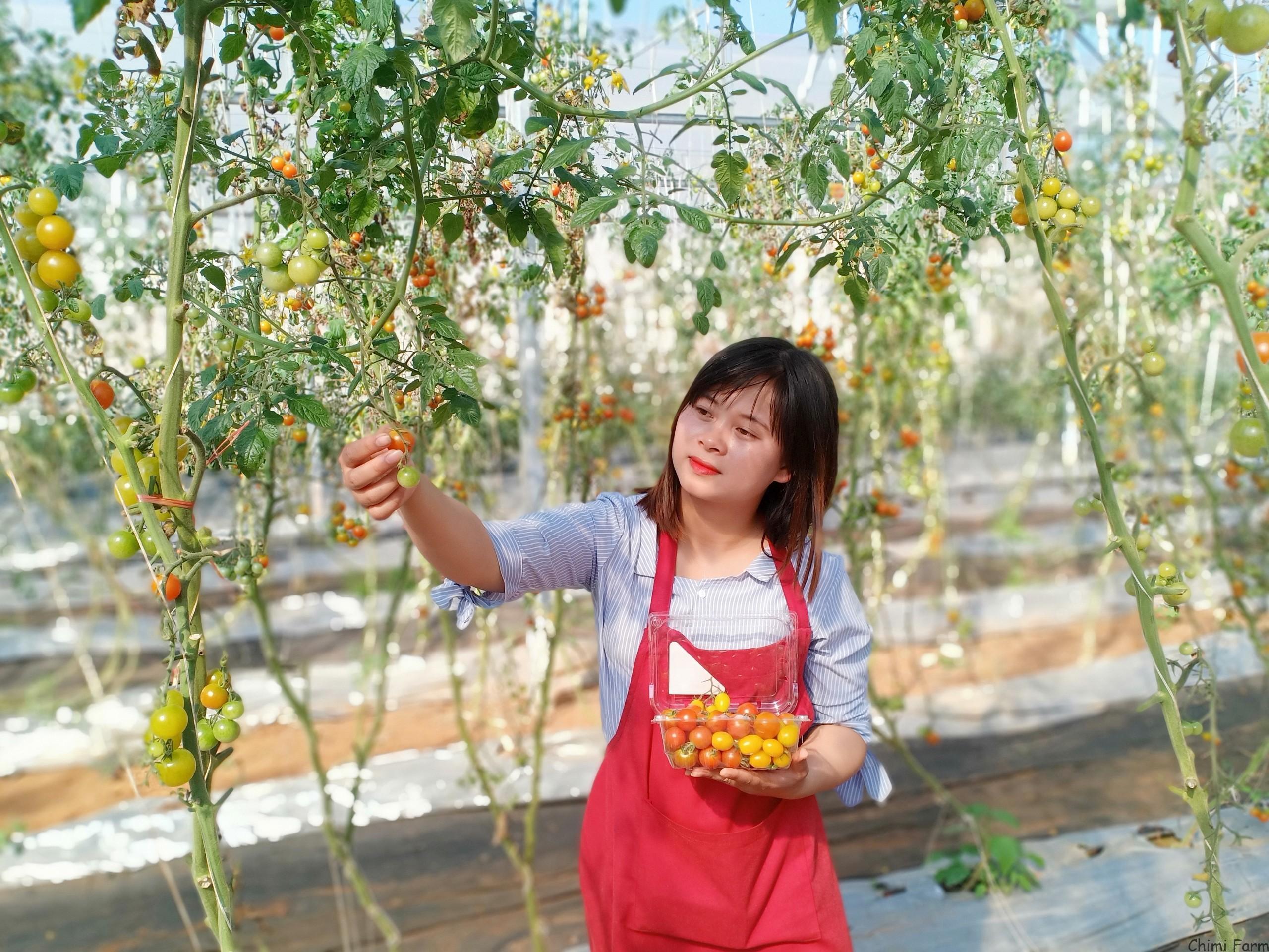 Vườn cà chua cherry của Chimi Farm