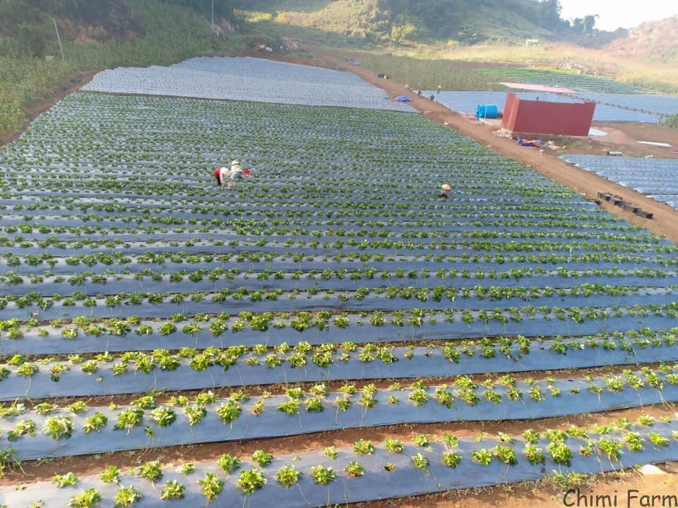 Nguồn: Hana Farm Mộc Châu – Thung lung dâu tây khổng lồ