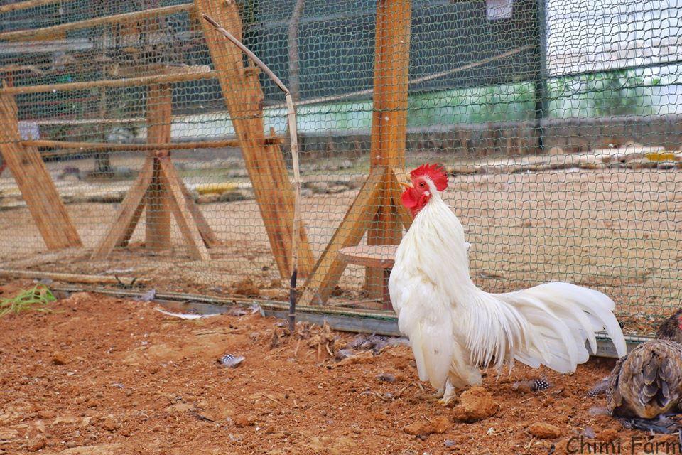 Vườn chim và thỏ của Chimi Farm