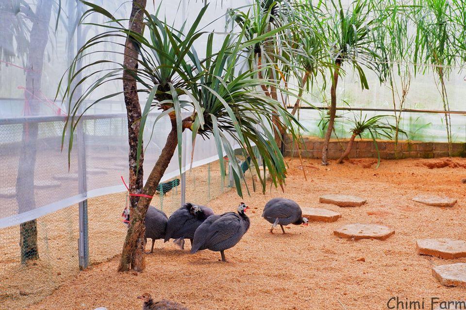 Gà sao trong khu vườn thú của Chimi Farm