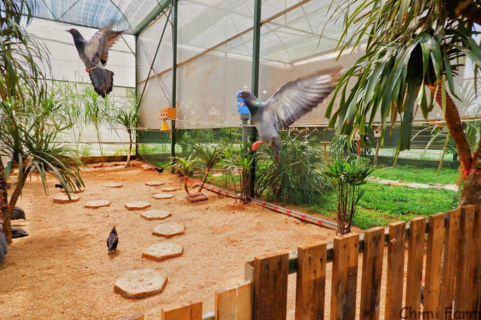 Bồ câu tung cánh bay lượn trong khu vườn