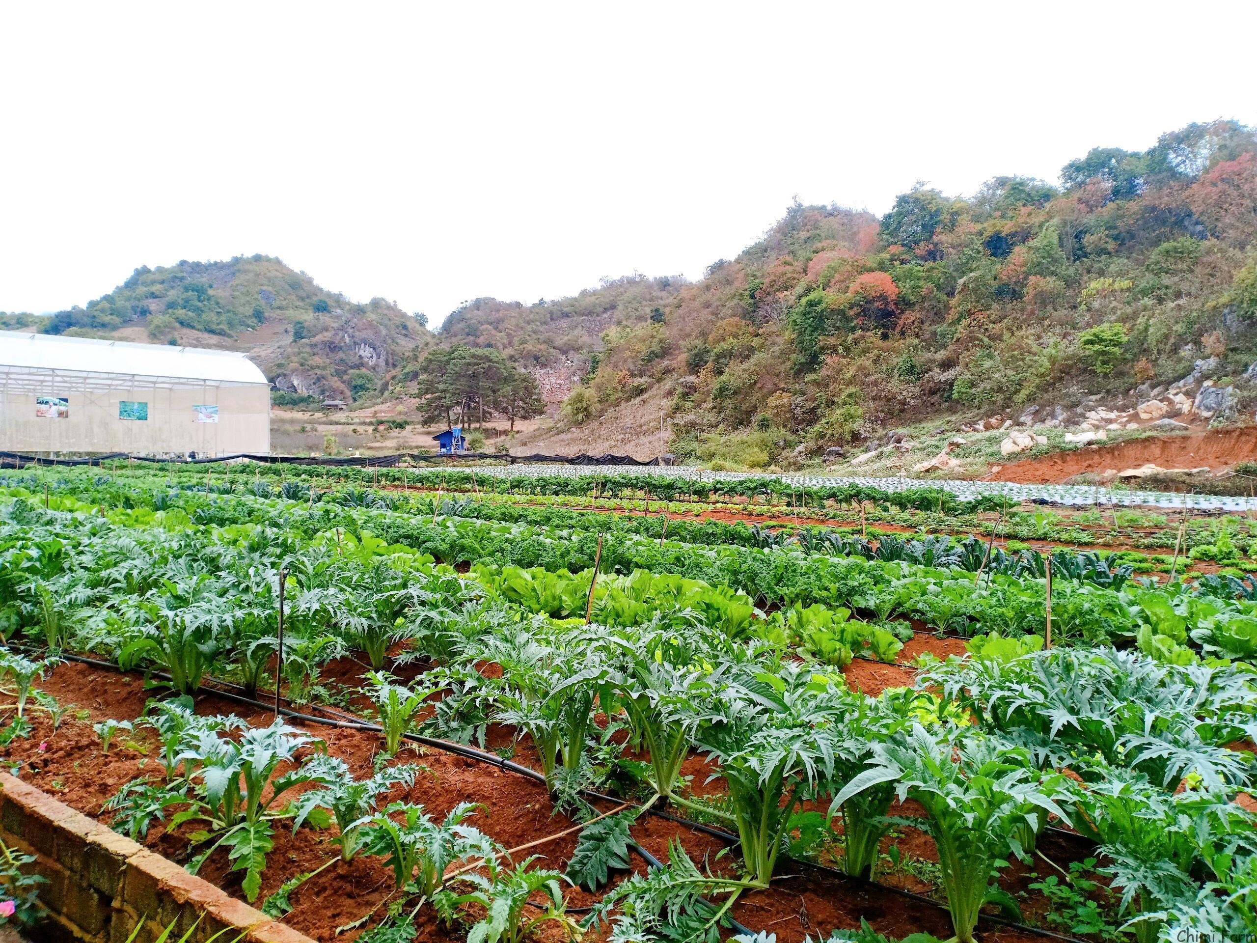 Vườn rau xanh mướt của Chimi Farm để phục vụ nhà hàng buffet rau Chimi