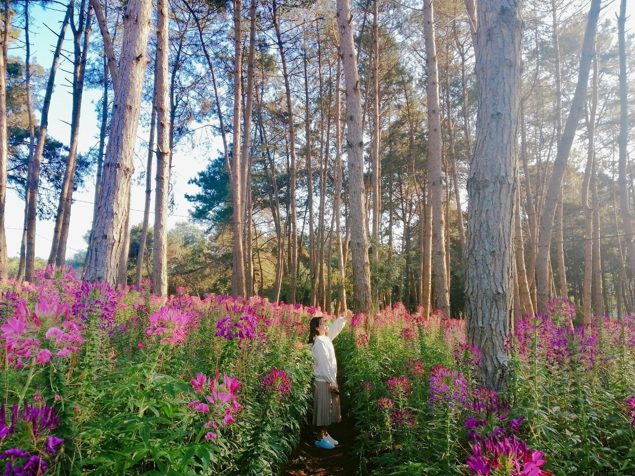 Vườn hoa cẩm tú cầu của Chimi Farm là điểm check-in thu hút du khách