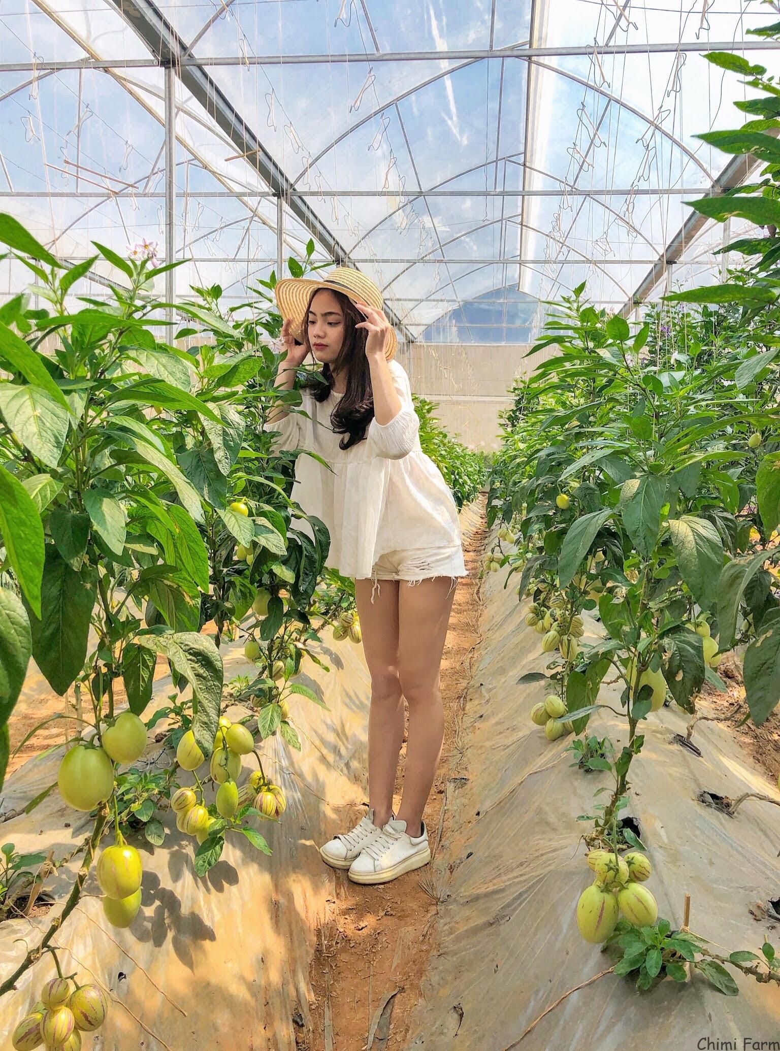 Dưa pepino của Chimi Farm được bắc giàn cao đến gần 2m