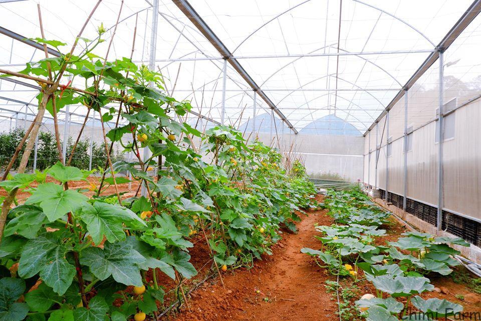 Vườn bí ngô tí hon của Chimi Farm