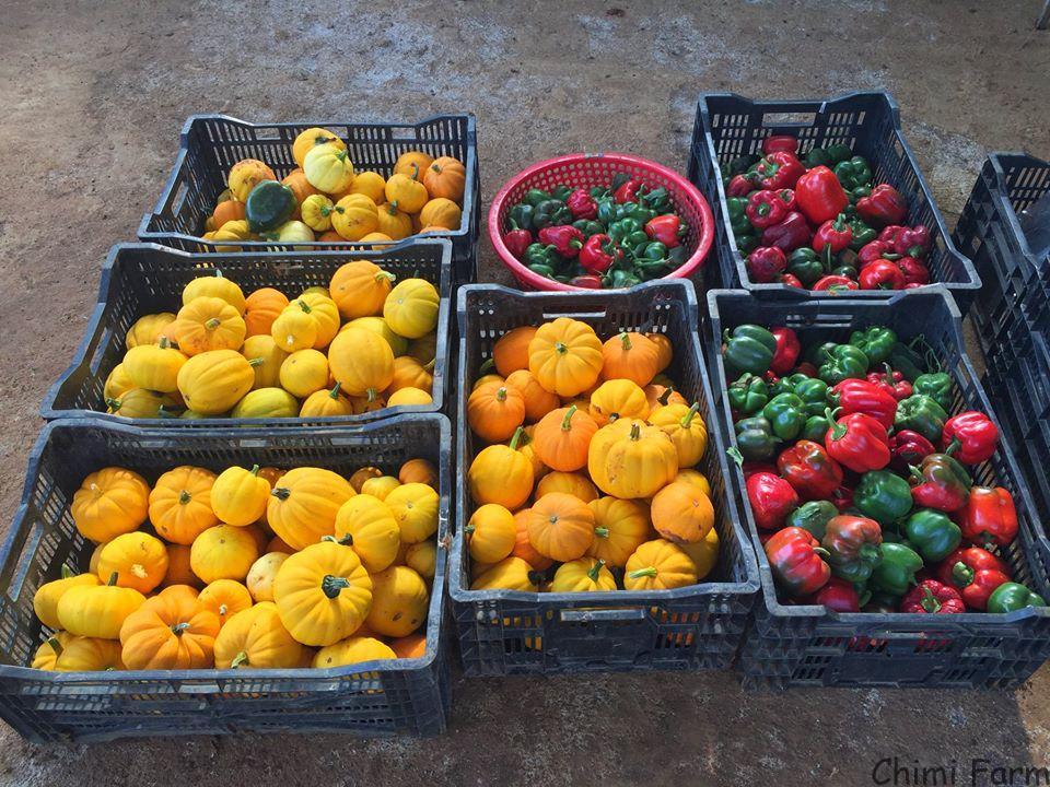 Chimi Farm thu hoạch những trái bí ngô tí hon