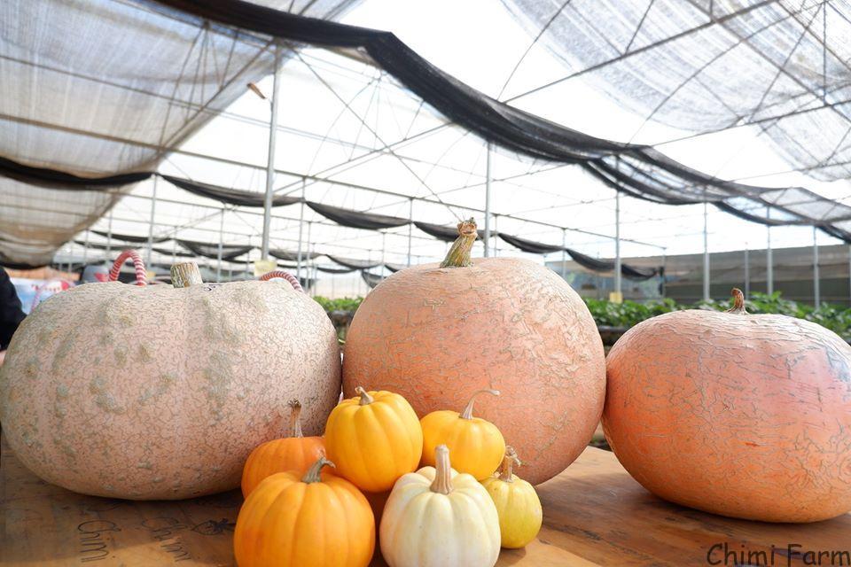 Kỹ thuật trồng và chăm sóc bí ngô khổng lồ của Chimi Farm
