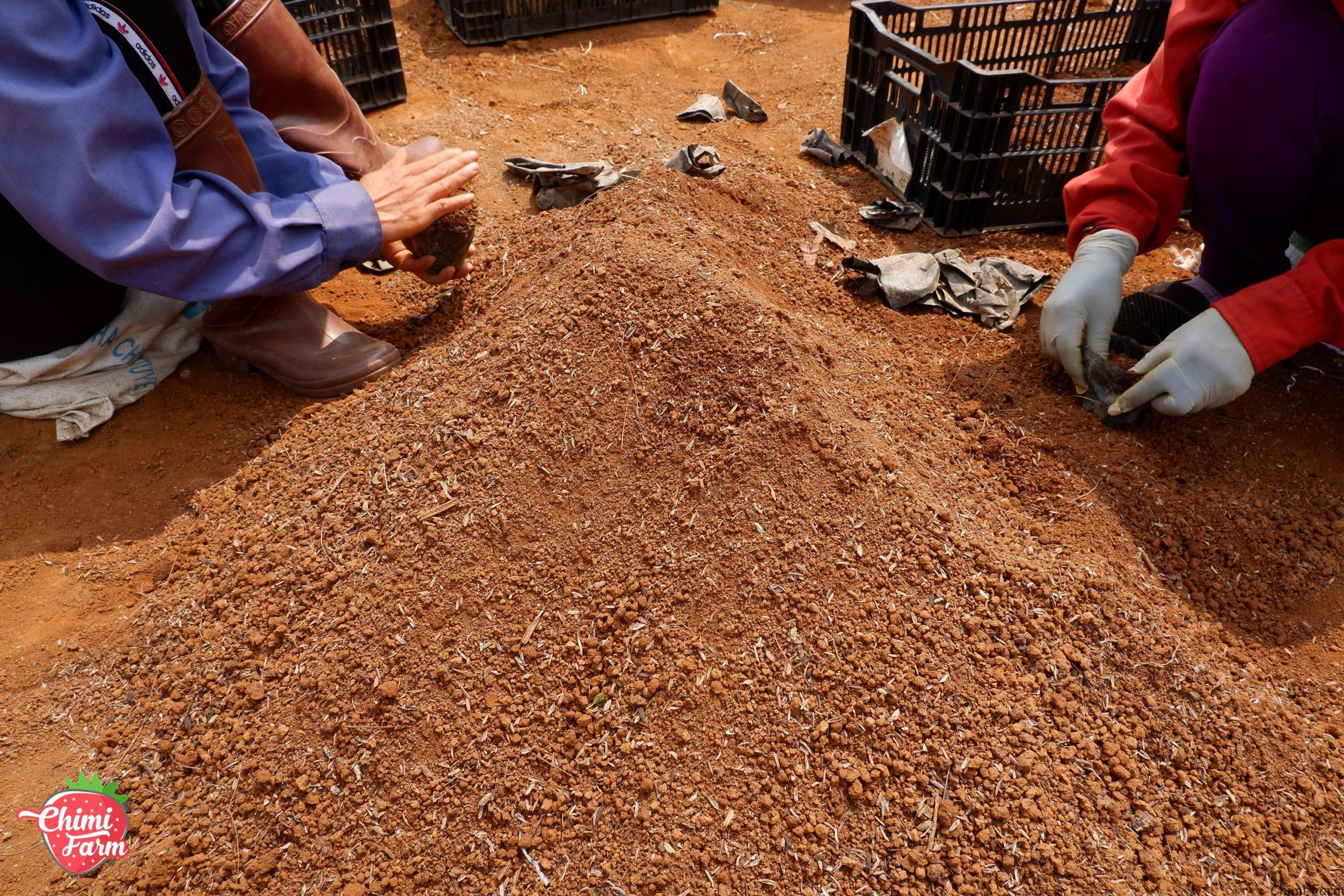 Hướng dẫn cách trồng dâu tây tai miền Bắc Mua cây dâu tây giống hana 082989110