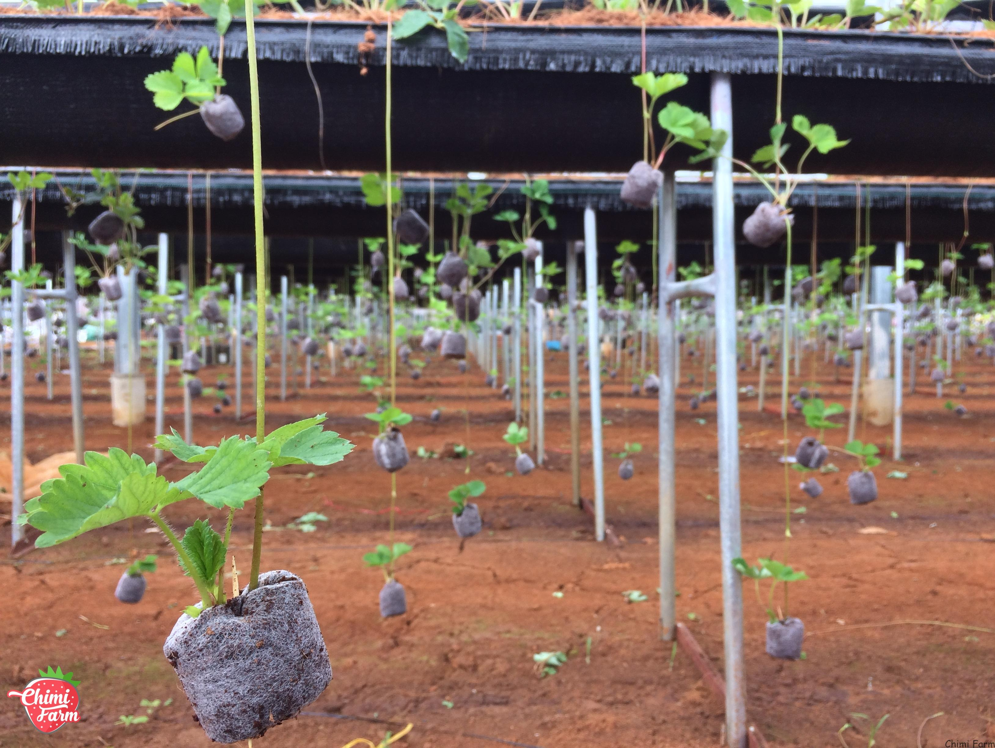 Cây giống dâu tây Nhật Bản – Địa chỉ bán cây giống uy tín