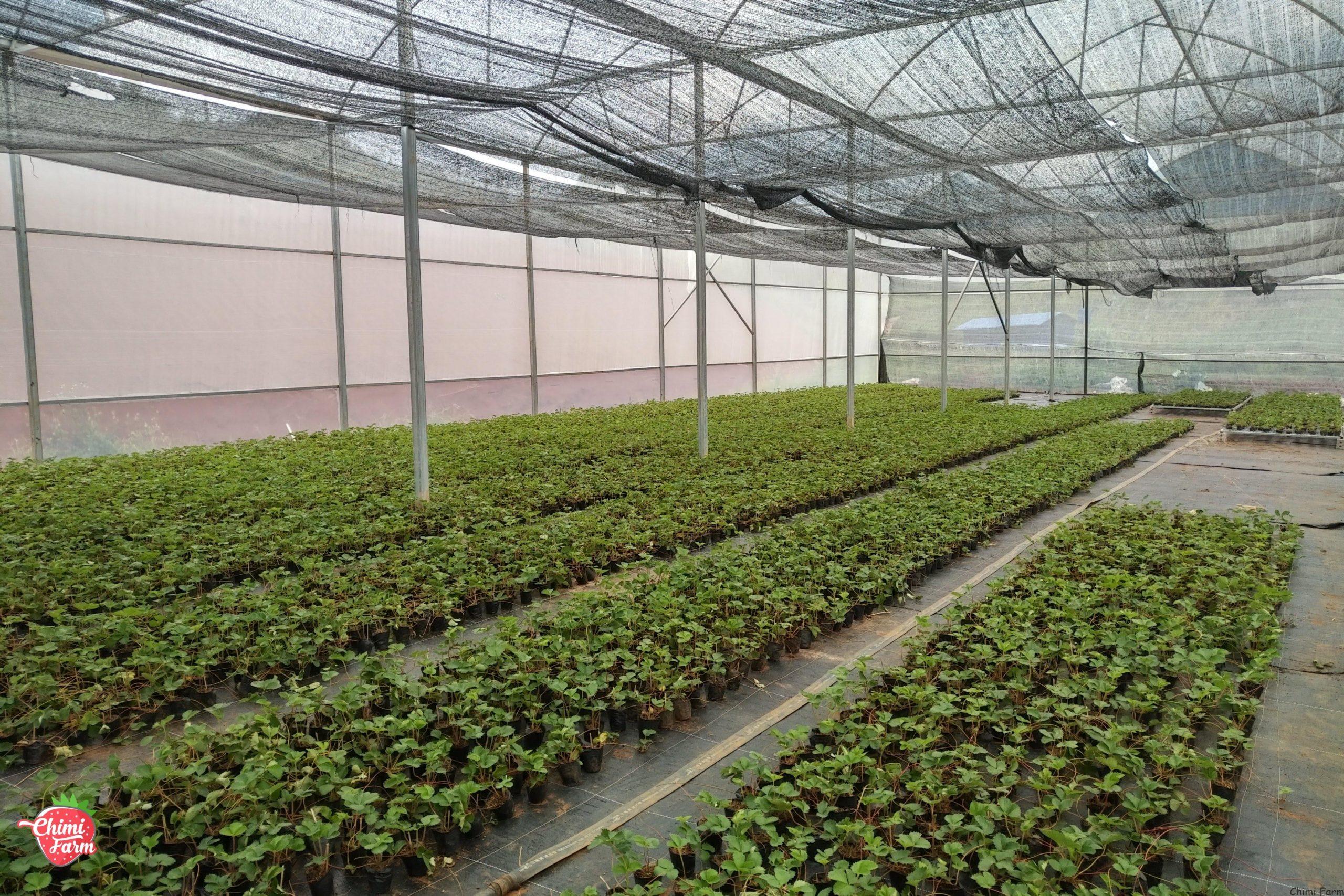 Mua cây giống dâu tây Mộc Châu ở đâu uy tín chất lượng. Liên hệ mua cây dâu tây giống, tư vấn kỹ thuật 082.989.1110
