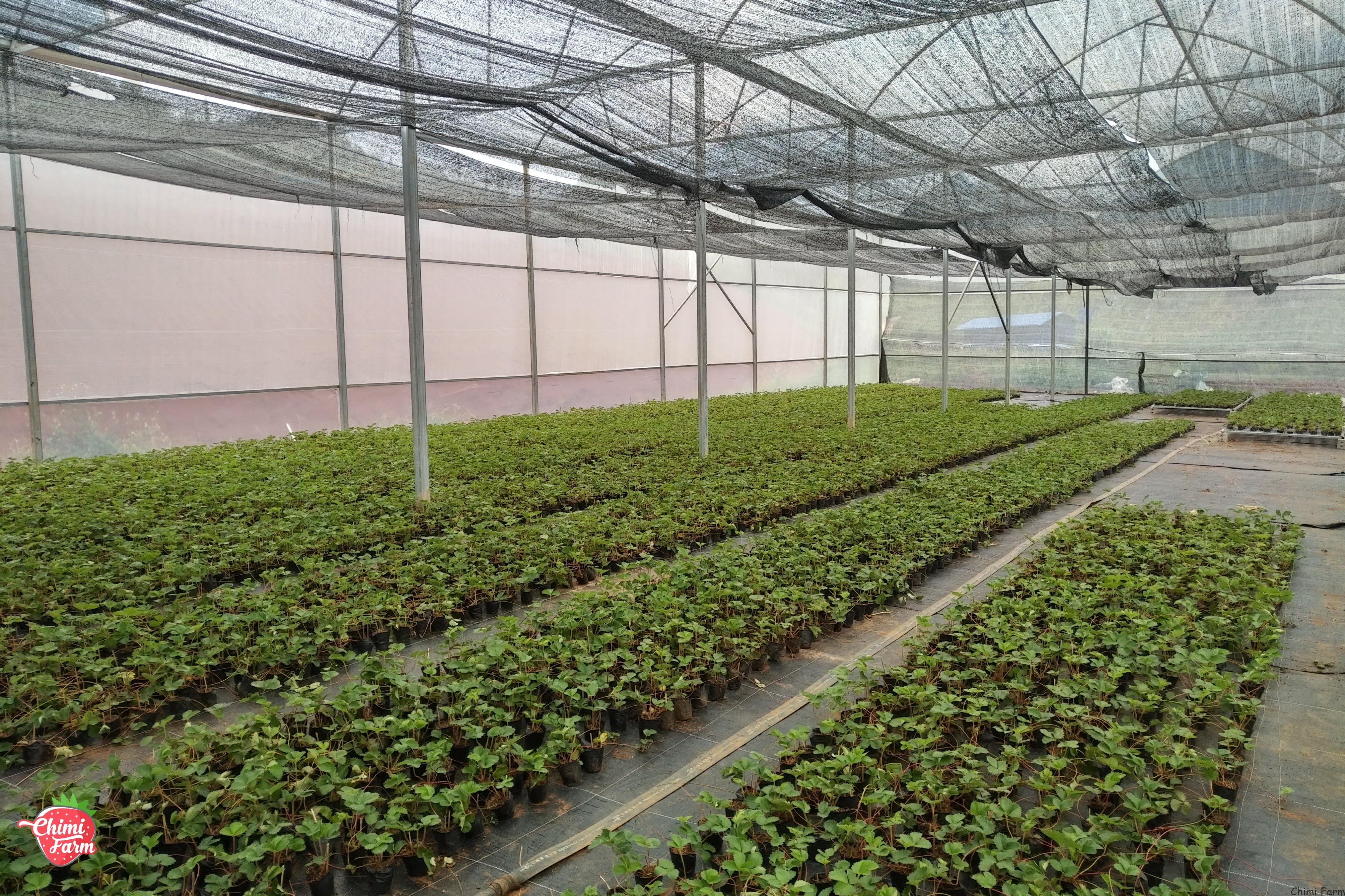 Mua cây giống dâu tây Mộc Châu ở đâu uy tín chất lượng