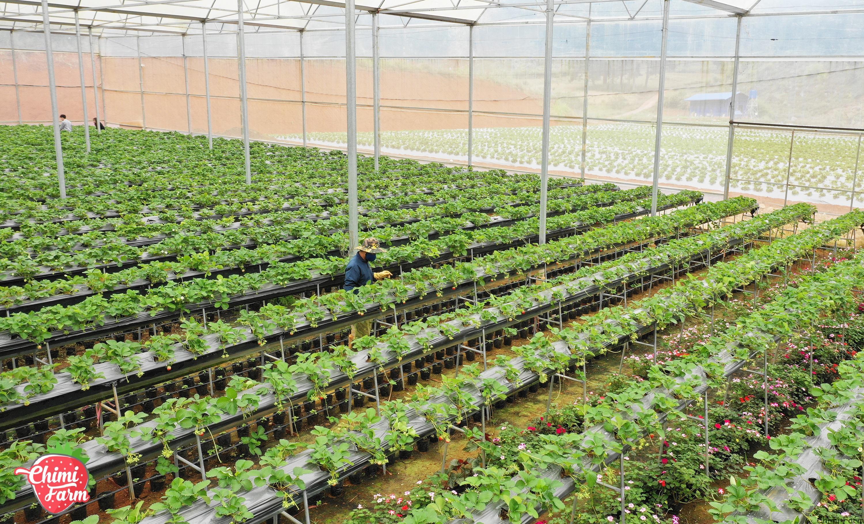 Hệ thống trang trại hiện đại của Trang trại dâu tây Chimi