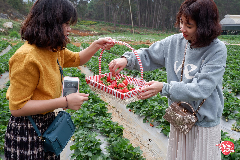Du khách thích thú với trải nghiệm hái dâu tây tại Chimi Farm 1